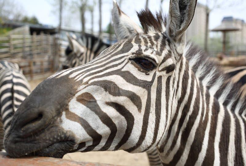 Sebra i zooen royaltyfria bilder