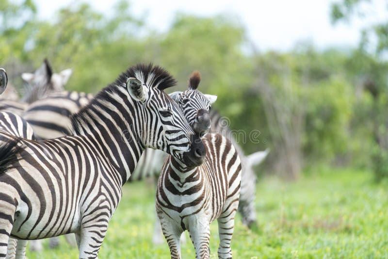 Sebra med några giraff fotografering för bildbyråer