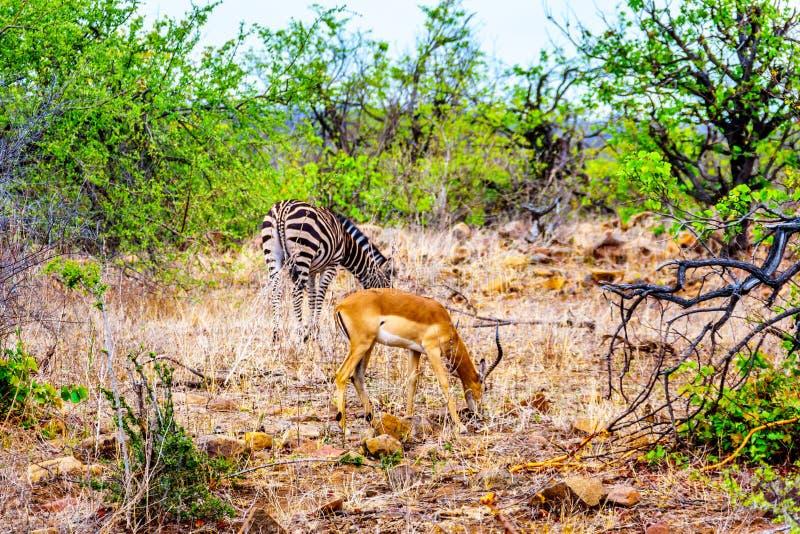Sebra- och impalaantilop som betar i det torka slågna savannområdet av den centrala Kruger nationalparken arkivfoton