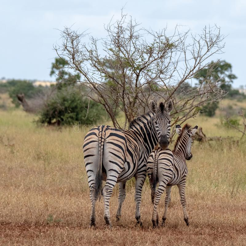 Sebra och kalv som fotograferas i busken på den Kruger nationalparken, Sydafrika fotografering för bildbyråer
