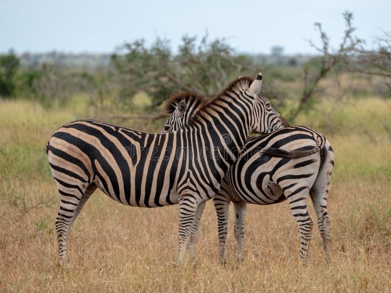 Sebra och kalv som fotograferas i busken på den Kruger nationalparken, Sydafrika royaltyfri foto