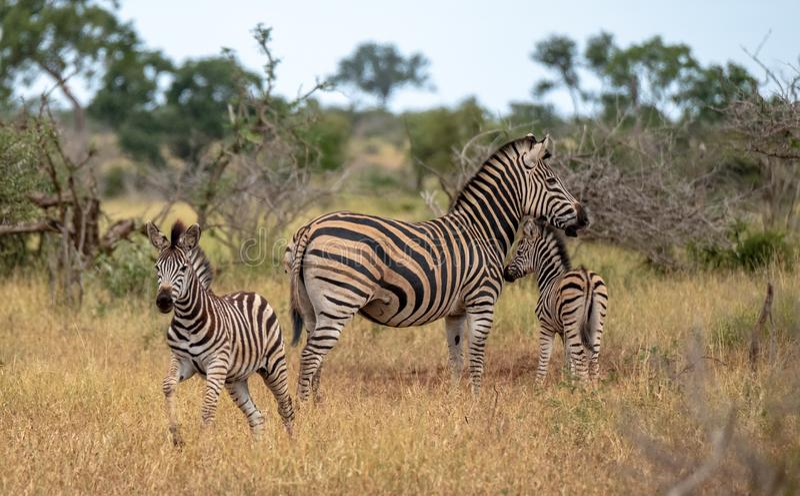 Sebra och kalvar som fotograferas i busken på den Kruger nationalparken, Sydafrika royaltyfri foto
