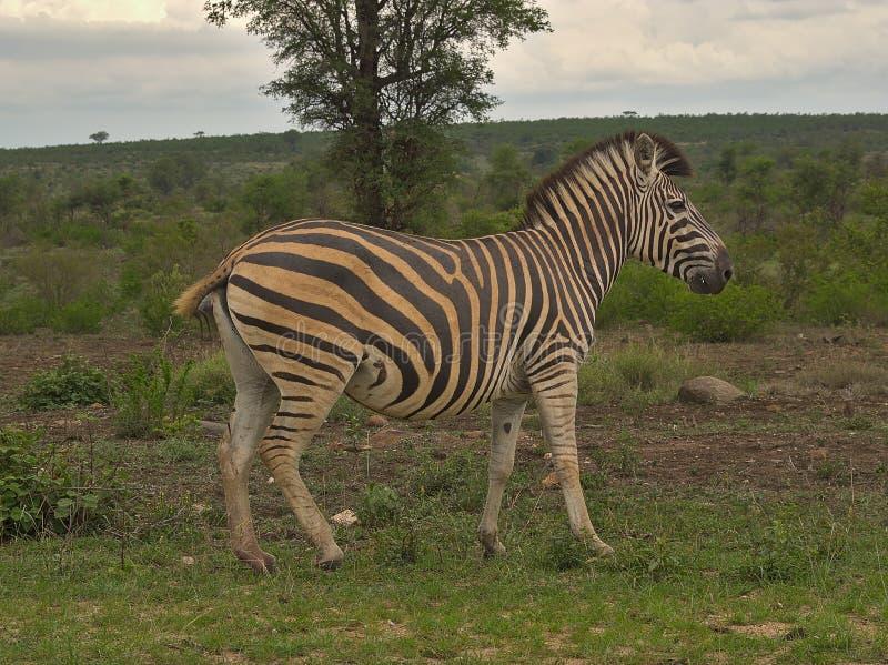 Sebra på molnig dag i Kruger fotografering för bildbyråer