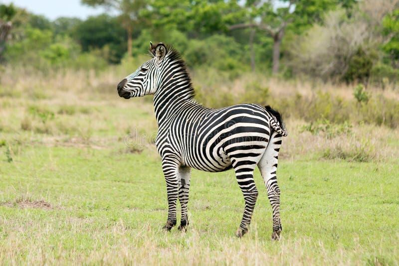 Sebra på Safari arkivfoton