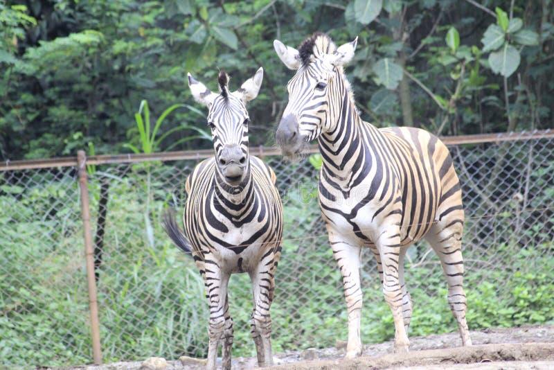 Sebra på zoo Bandung Indonesien 2 royaltyfri foto