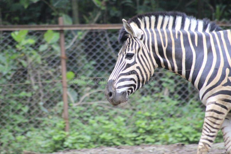 Sebra på zoo Bandung Indonesien 3 royaltyfri foto