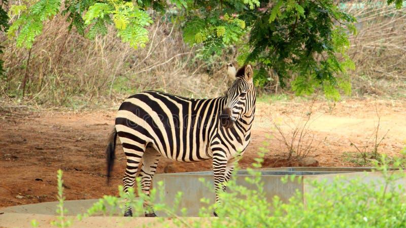 Sebra på zoo royaltyfri bild