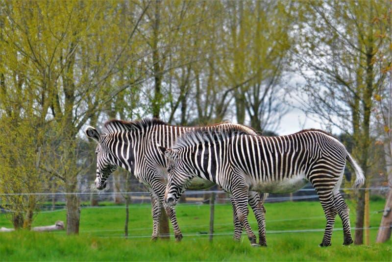 Sebra/par av sebror i den Woburn safari fotografering för bildbyråer
