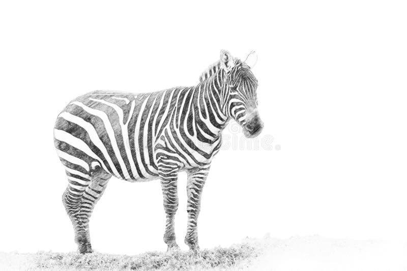 Sebra Skissa med blyertspennan stock illustrationer