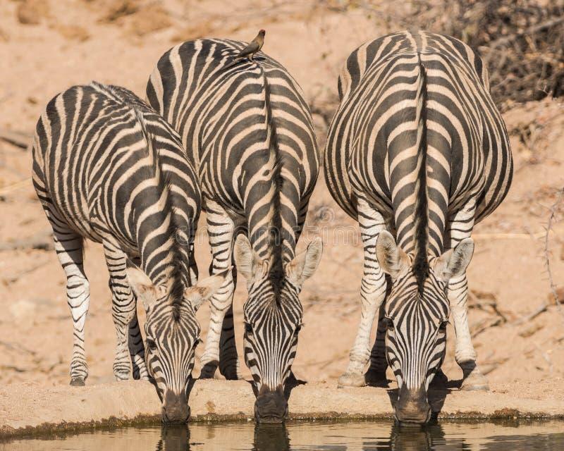 Sebra som dricker, Balule reserv, Sydafrika royaltyfri foto