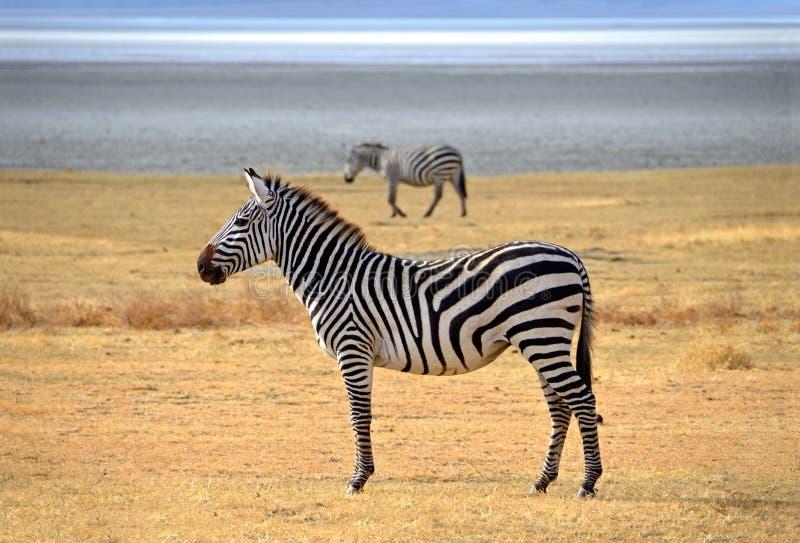 Sebra som poserar och ser nyfiket på safari royaltyfria foton
