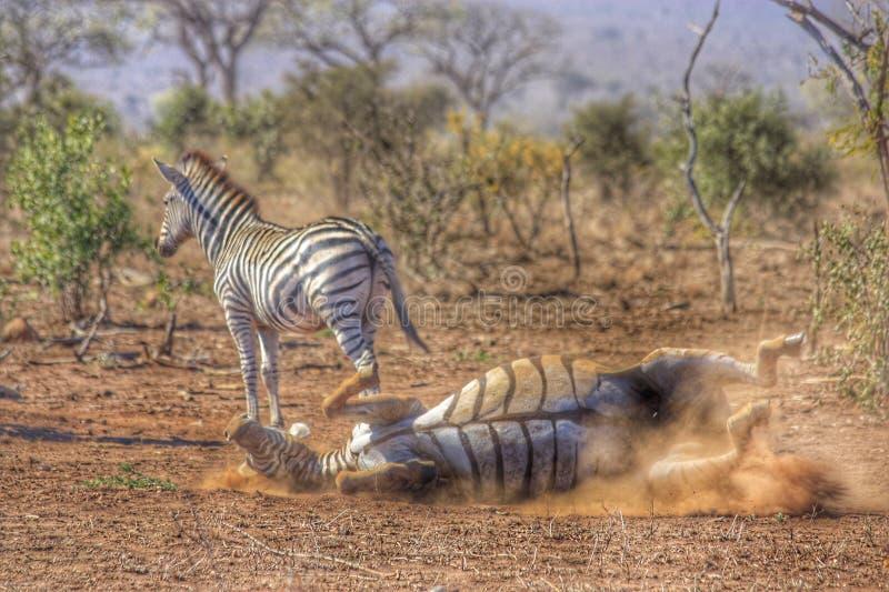 Sebra som spelar i Kruger Sydafrika royaltyfria bilder