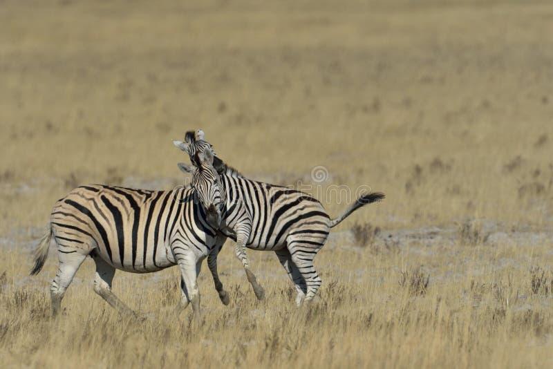 Sebra som spelar på gräs på pannan i den Etosha nationalparken, Namibia royaltyfria bilder