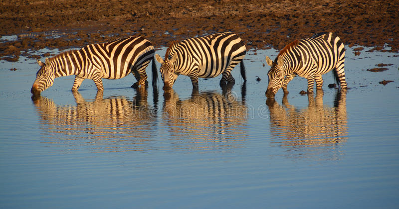 Sebra tre i floden i Afrika arkivbild