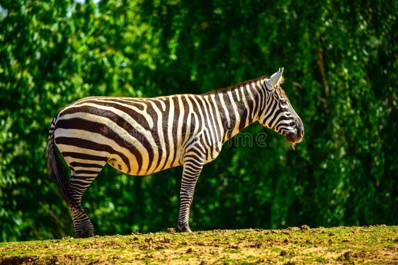 Sebraanseende på en äng i den Colchester zoo royaltyfri bild