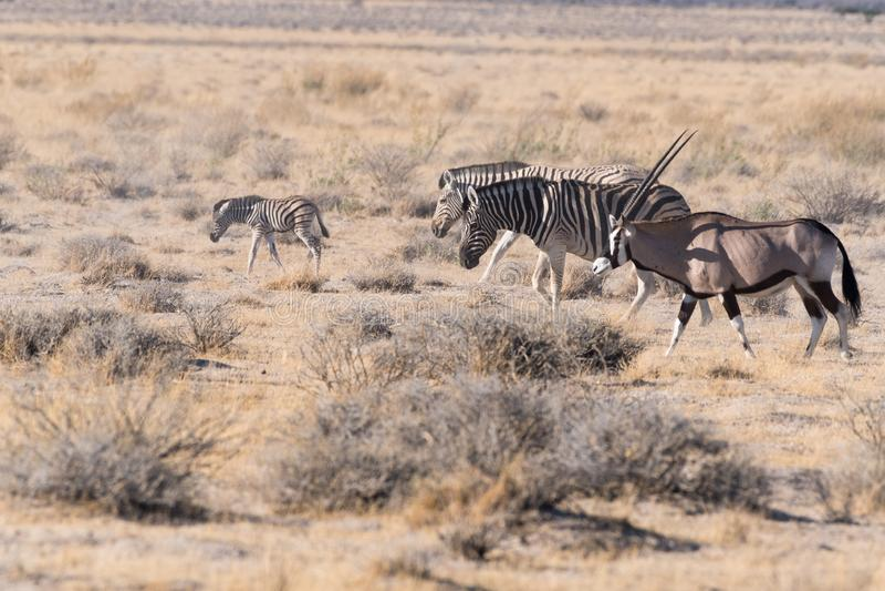 Sebrafamiljen tar går med en oryxantilop i den Etosha nationalparken, Namibia royaltyfri fotografi