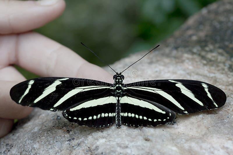 SebraLongwing fjäril arkivbild