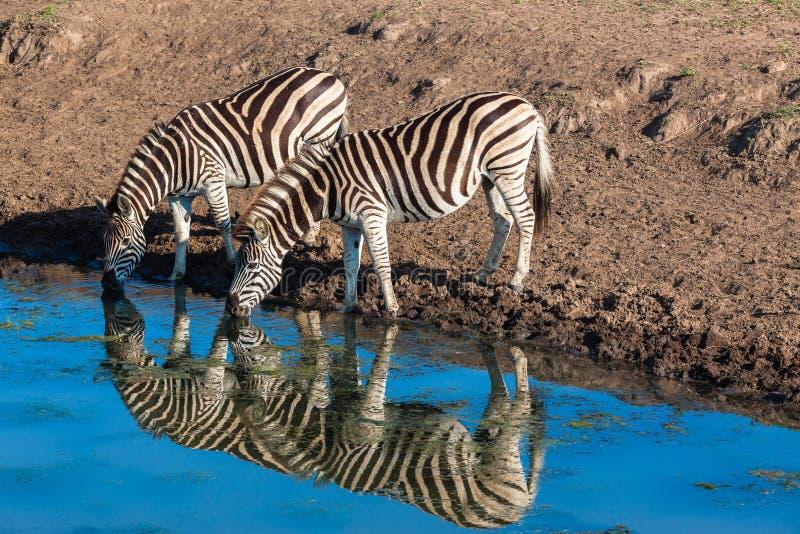 Sebras två reflexioner för dricksvattenspegel royaltyfria bilder