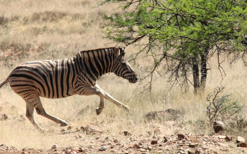 Sebraspring på savannahen i Sydafrika royaltyfri fotografi