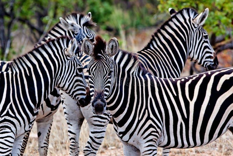 Sebror i den Kruger nationalparken royaltyfria foton