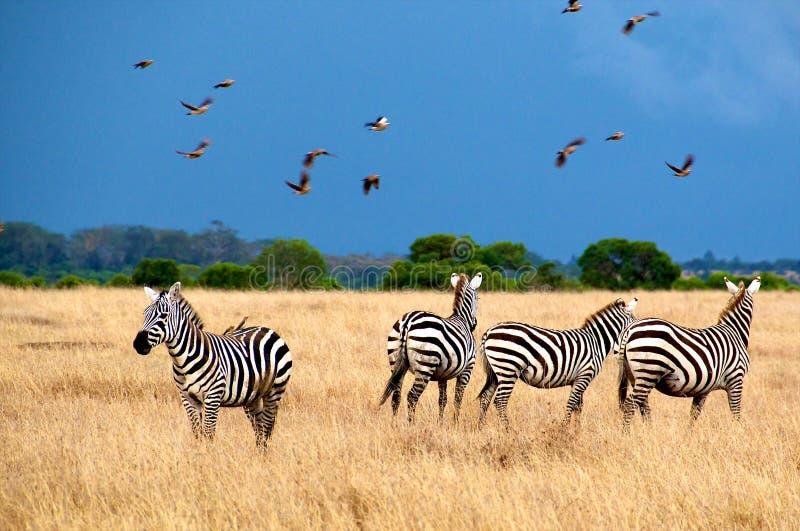 Sebror i nationalpark av Tanzania. arkivbilder