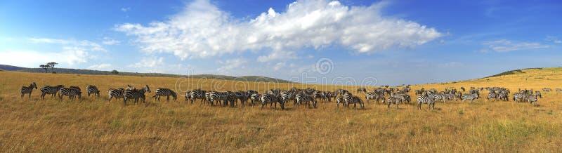 Sebror i rad som går i savannahen i Afrika royaltyfri foto