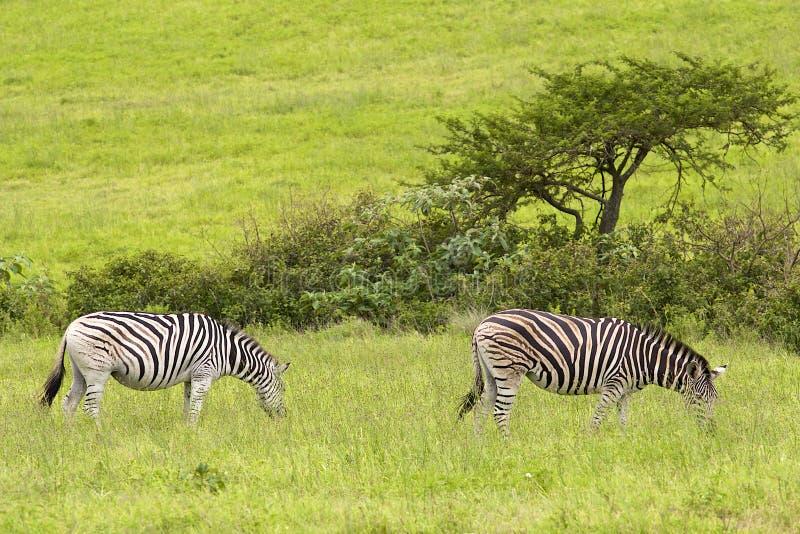 Sebror i safari parkerar, Sydafrika arkivbilder