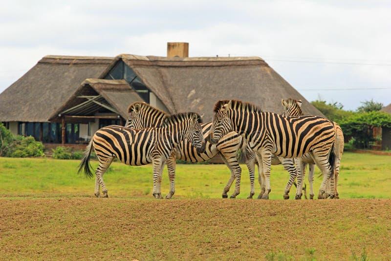 Sebror i safari parkerar, Sydafrika arkivfoto