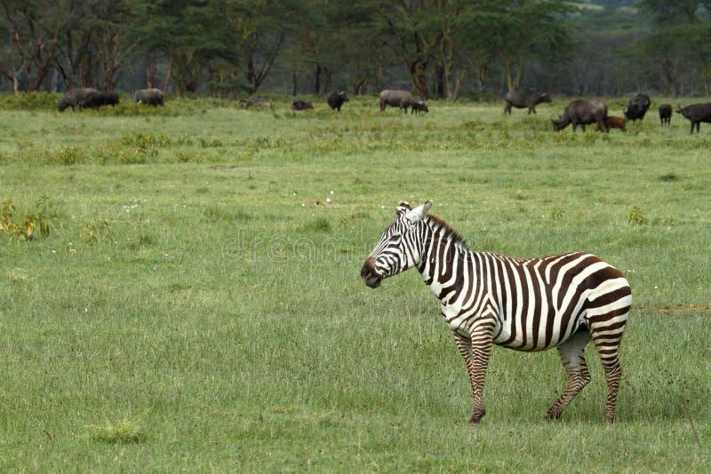 Sebror i sjön Nakuru National Park i Kenya fotografering för bildbyråer