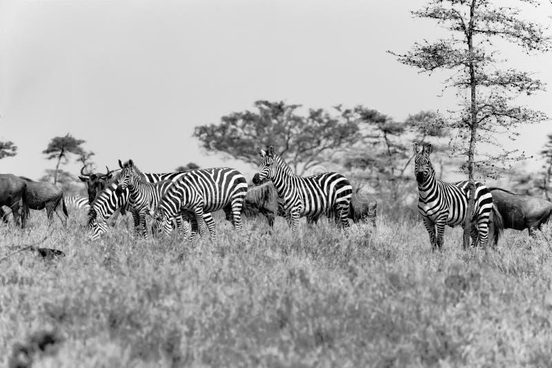 Sebror och Wildebees - gnu - i Serengeti, Tanzania, svartvitt fotografi royaltyfria bilder
