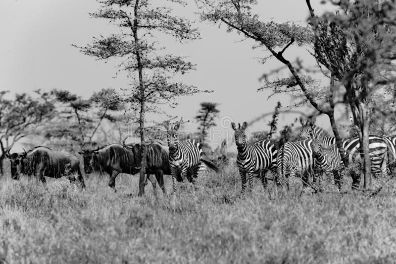 Sebror och Wildebees - gnu - i Serengeti, Tanzania, svartvitt fotografi arkivbild