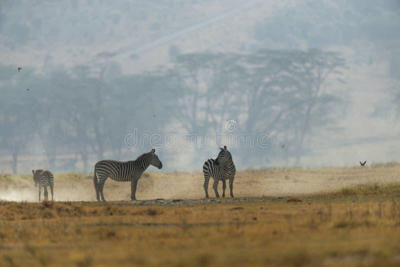 Sebror på en blåsig morgon på sjön Nakuru National Park fotografering för bildbyråer
