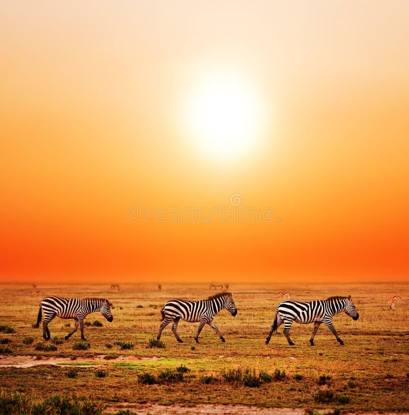 Sebror samlas på afrikansk savanna på solnedgången. arkivbilder