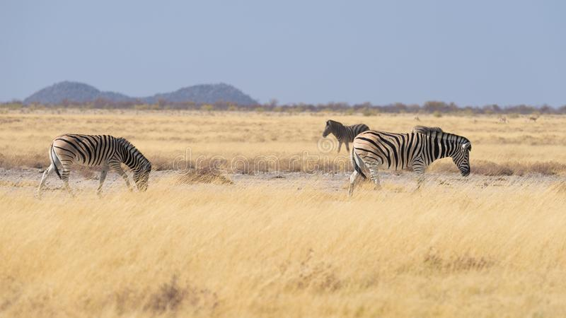 Sebror som betar i busken, afrikansk savannah Djurlivsafari, Etosha nationalpark, djurlivreserver, Namibia, Afrika arkivbilder