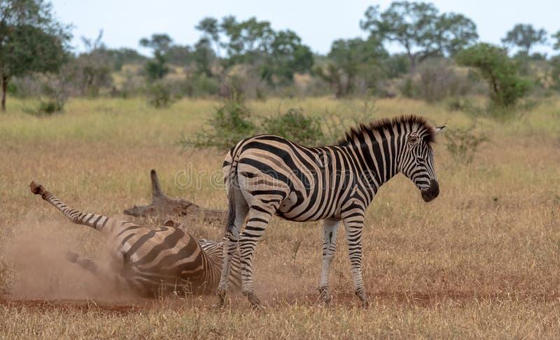 Sebror som fotograferas i busken p? den Kruger nationalparken, Sydafrika En sebra skrapar sig p? den torra jordningen fotografering för bildbyråer