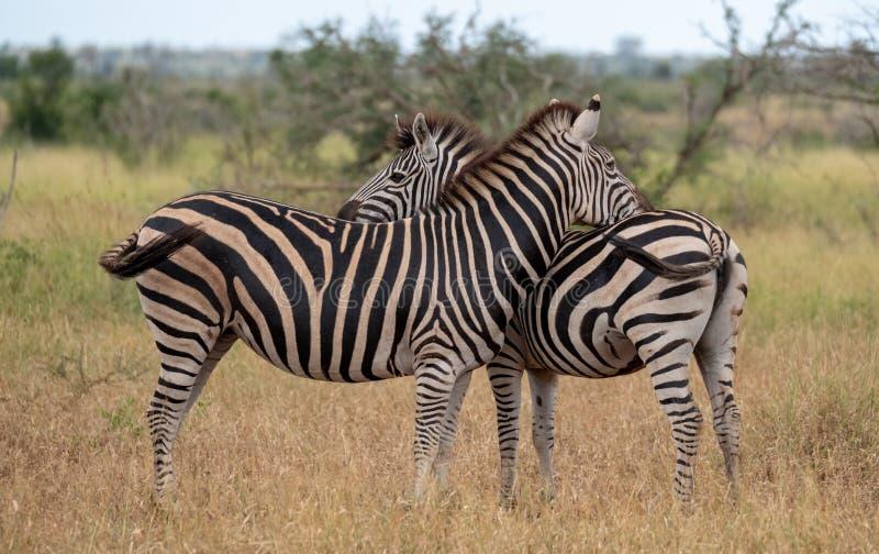 Sebror som fotograferas i busken p? den Kruger nationalparken, Sydafrika En sebra skrapar sig p? den torra jordningen royaltyfri fotografi