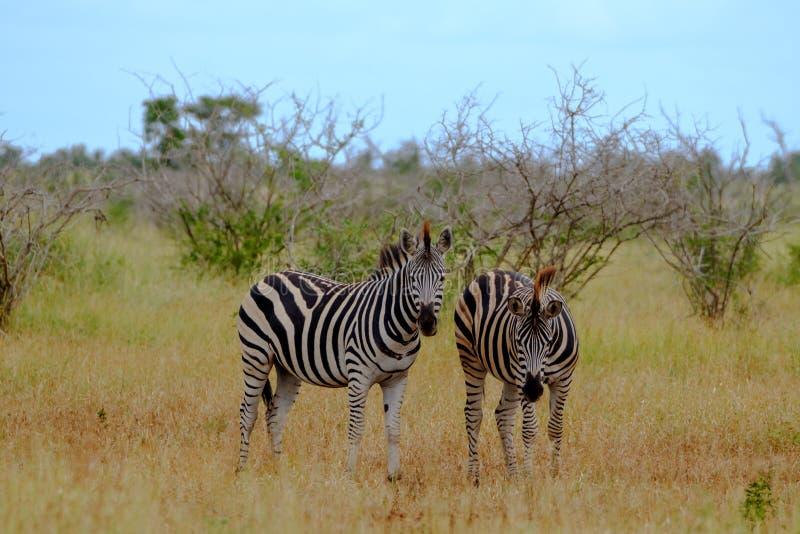 Sebror som fotograferas i busken p? den Kruger nationalparken, Sydafrika arkivfoton