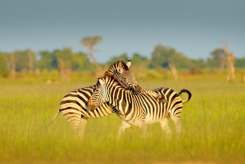 Sebror som spelar i savannahen Två sebror i det gröna gräset, våt säsong, Okavango delta, Moremi, Botswana royaltyfri bild