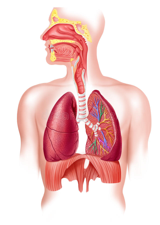 Secção transversal cheio humano do sistema respiratório. ilustração royalty free