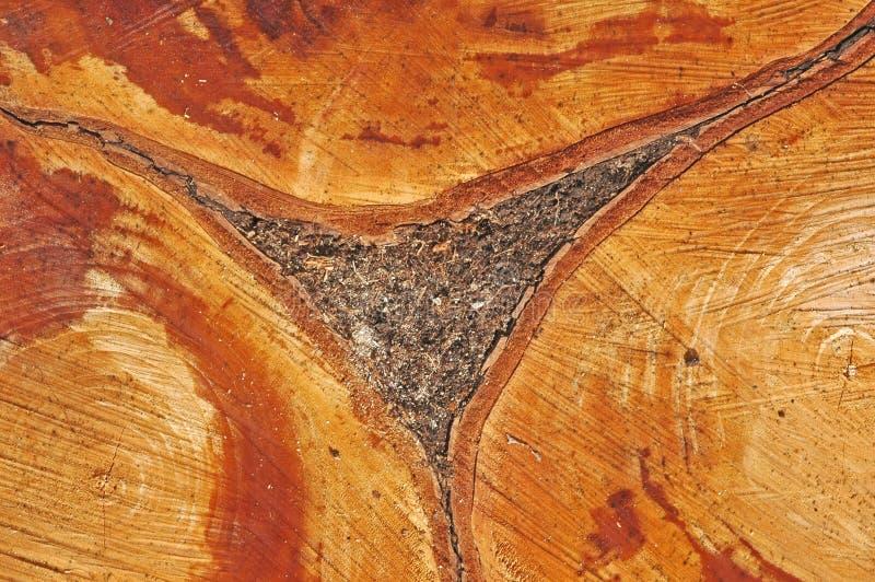 Secção transversal da árvore imagens de stock royalty free