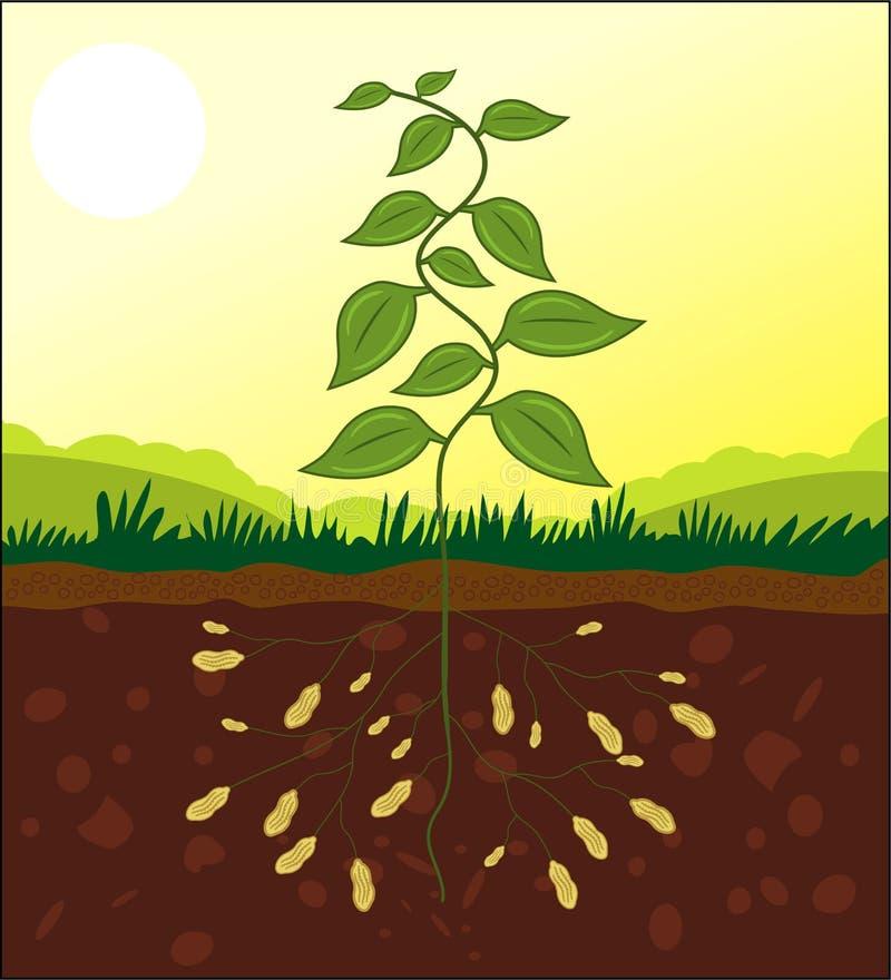 Secção transversal da planta do amendoim ilustração stock