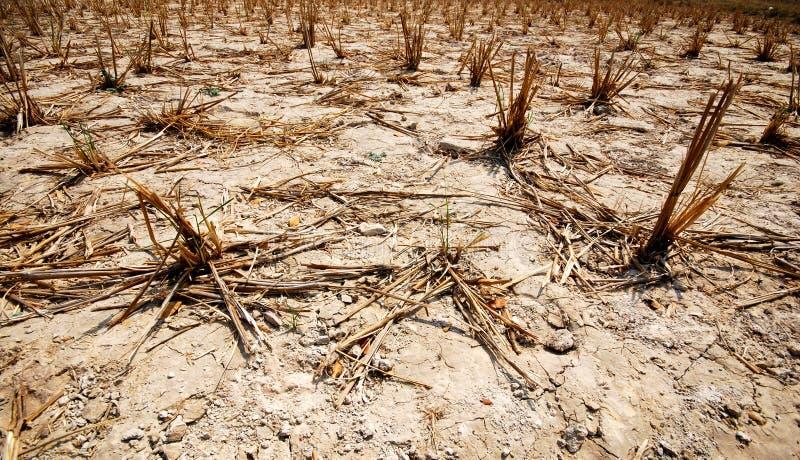 Seca do arroz field-1 foto de stock