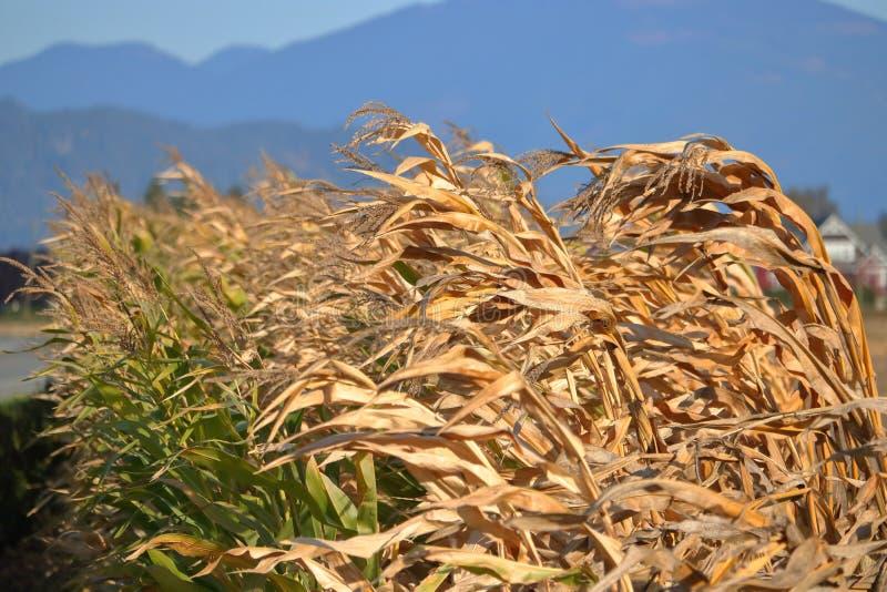 Seca e campo de milho foto de stock royalty free