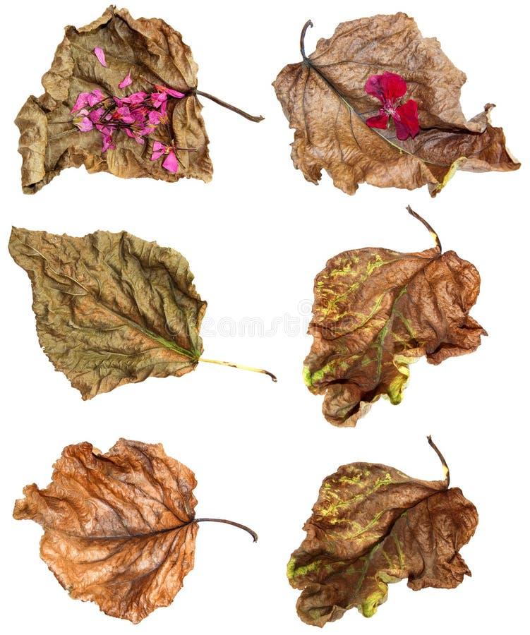 Secado acima das folhas do álamo com gerânio ilustração royalty free