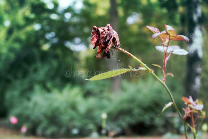 Secado aumentou a flor no parque do outono fotografia de stock royalty free
