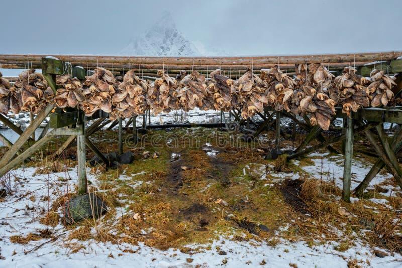 Secado de las escamas para los pescados de bacalao del estocafís en invierno Islas de Lofoten, imágenes de archivo libres de regalías