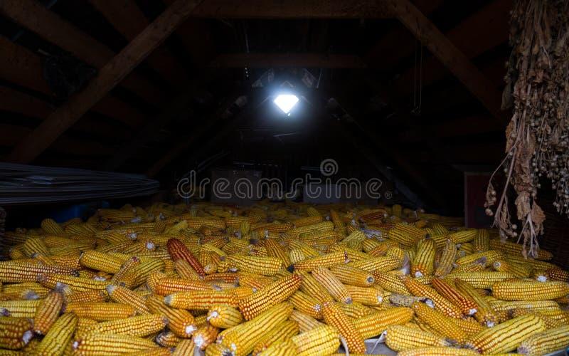 Secado de maíz en ático viejo en el cortijo foto de archivo
