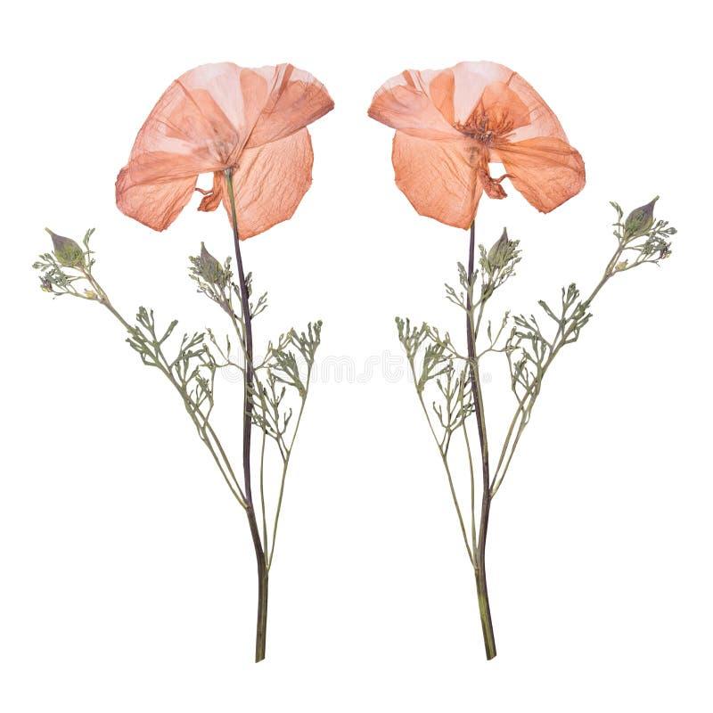 Secado e pressionado as flores do rosa da mola isoladas no fundo branco Herbário de flores selvagens fotografia de stock