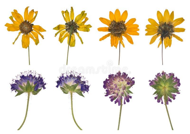 Secado y presionado las flores salvajes de la primavera aisladas en el fondo blanco fotografía de archivo