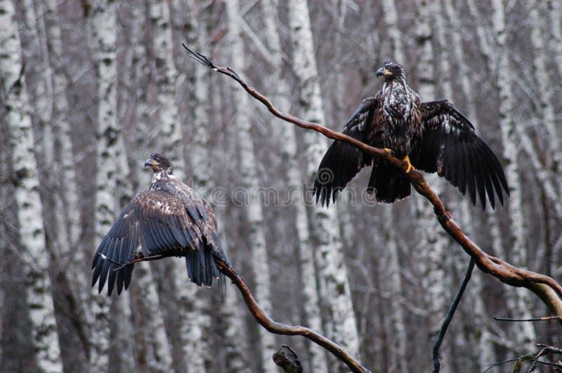 Secagem da águia imagens de stock royalty free